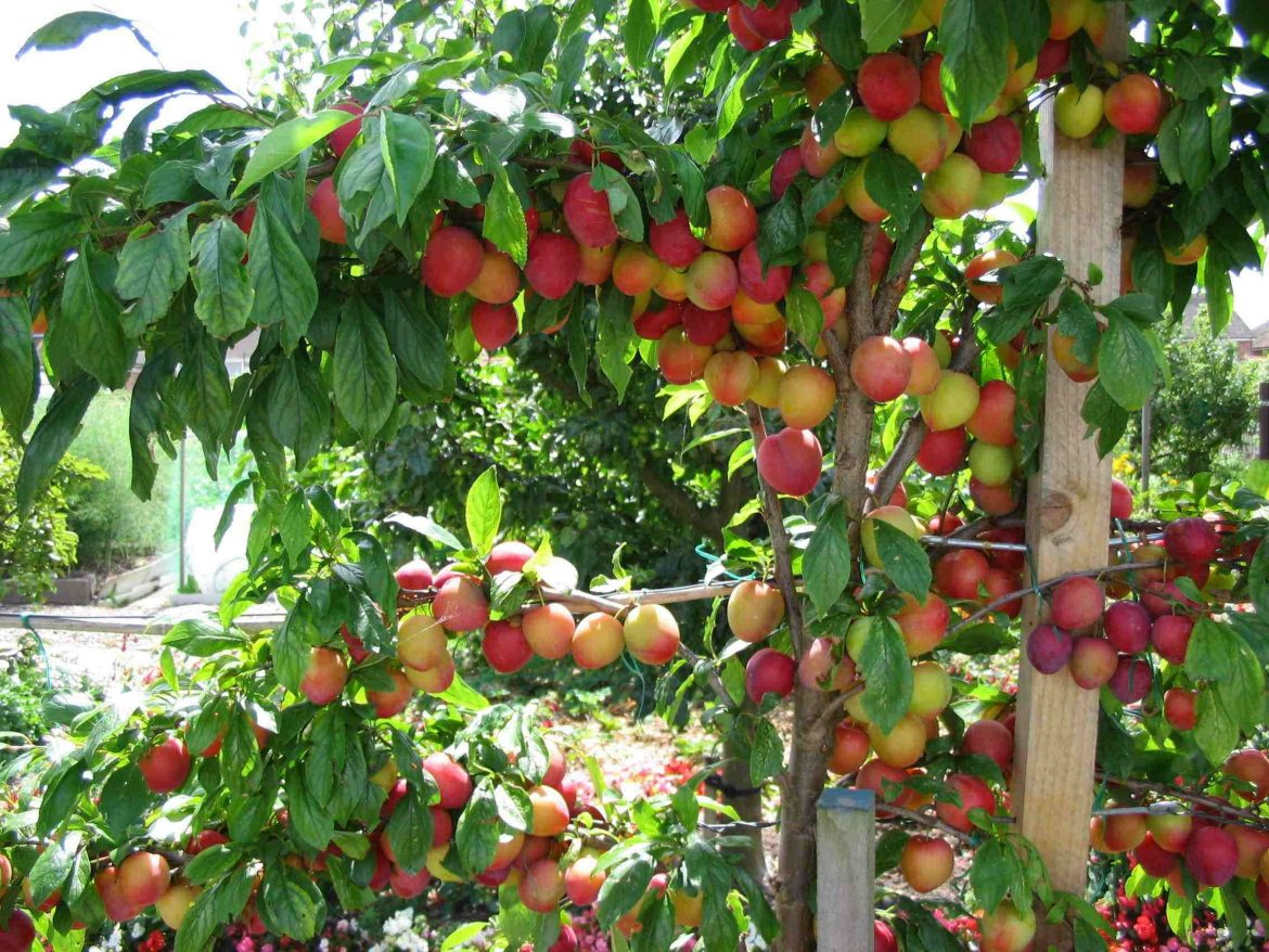 Fruit plants for small space
