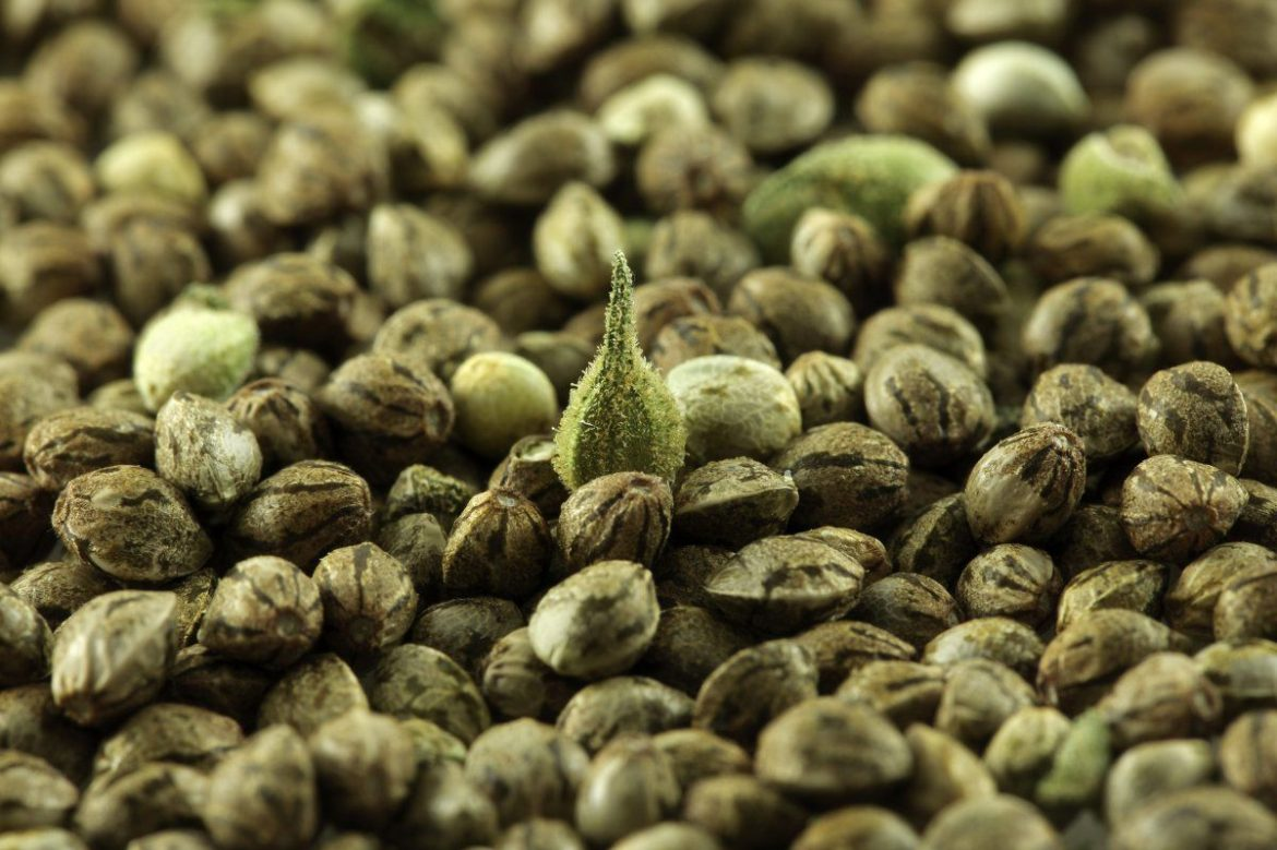 Learn How to Pick Your Best Cannabis Seed